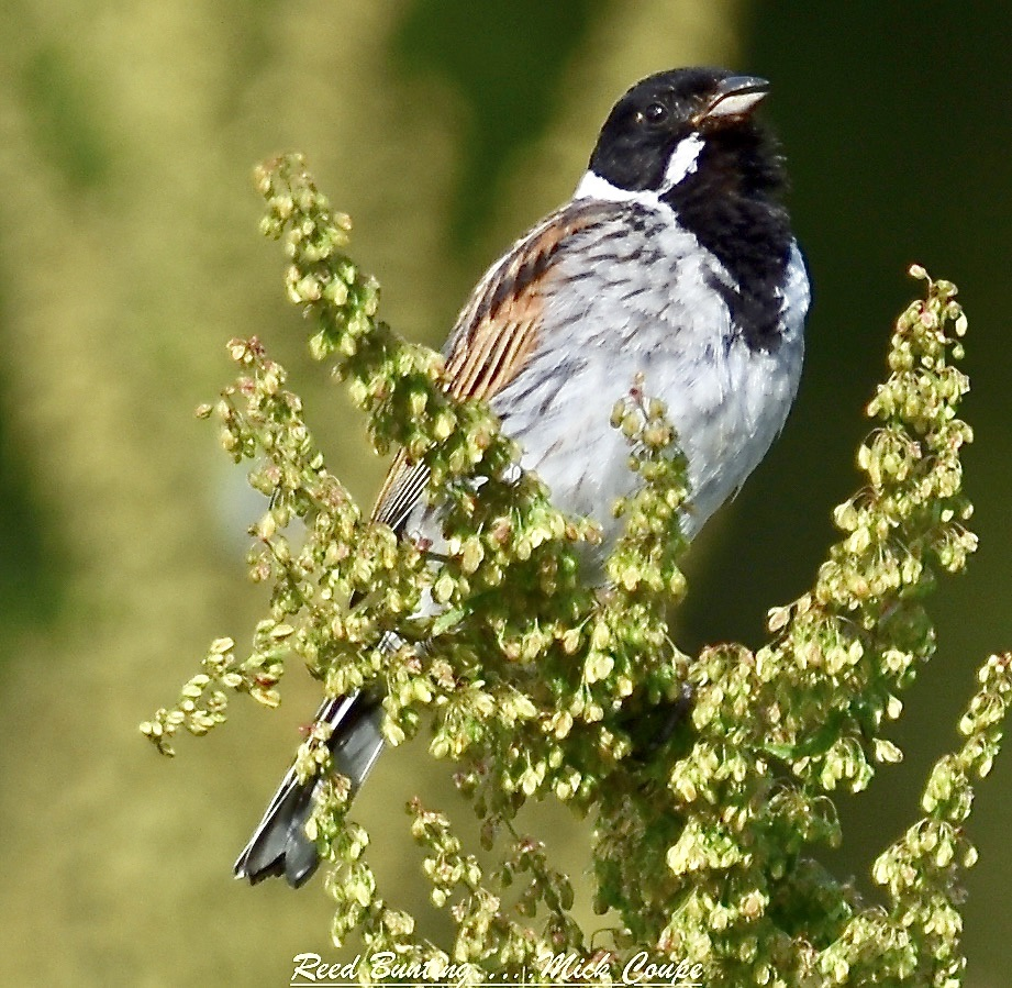 Reed Bunting (Michael Coupe)