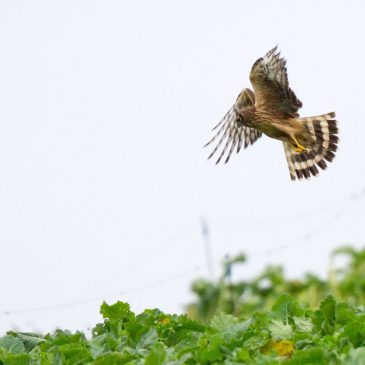 New Hen Harrier paper published