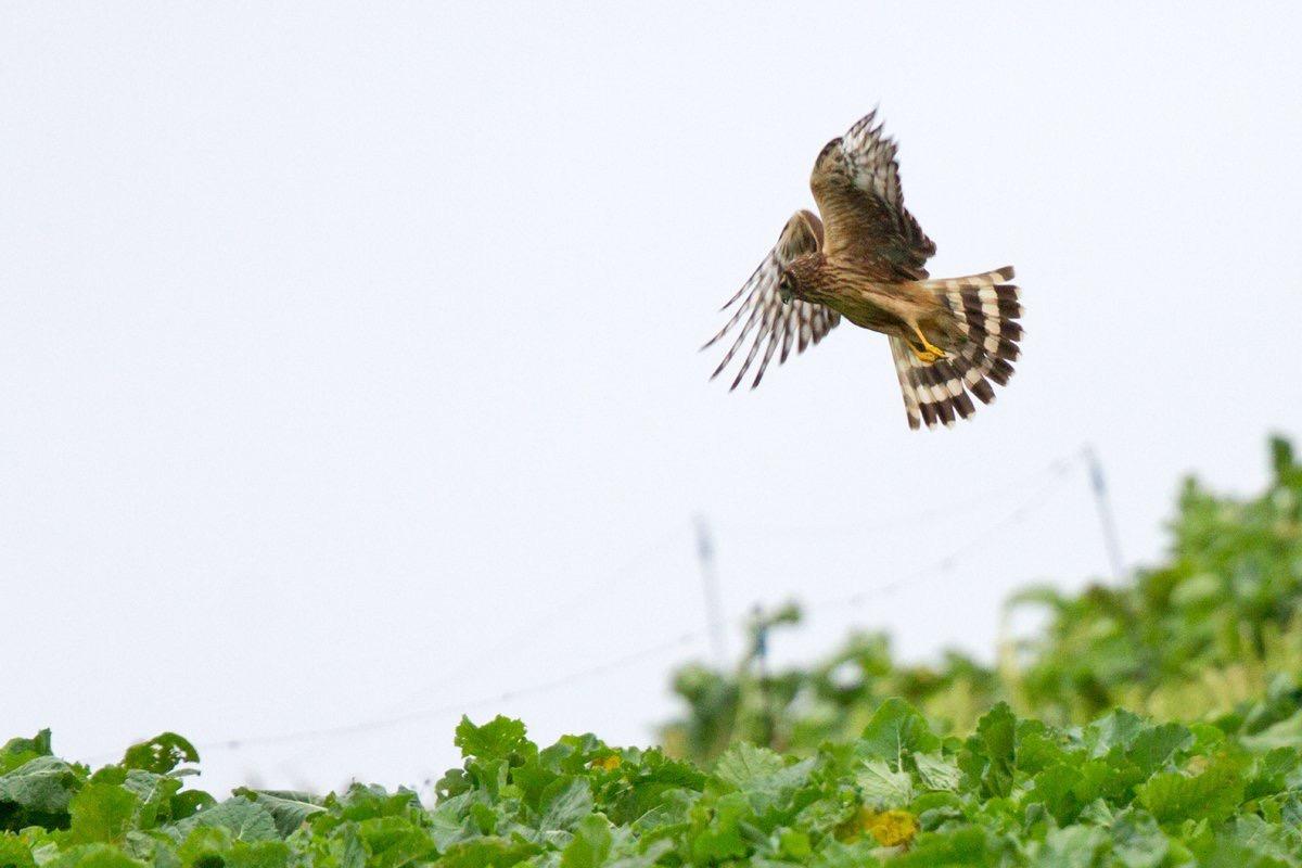 Hen Harrier (Neil G. Morris)