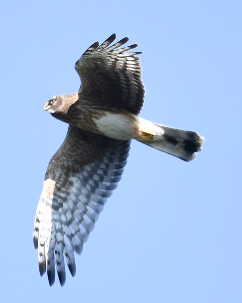 Juvenile Hen Harrier (Michael Coupe)