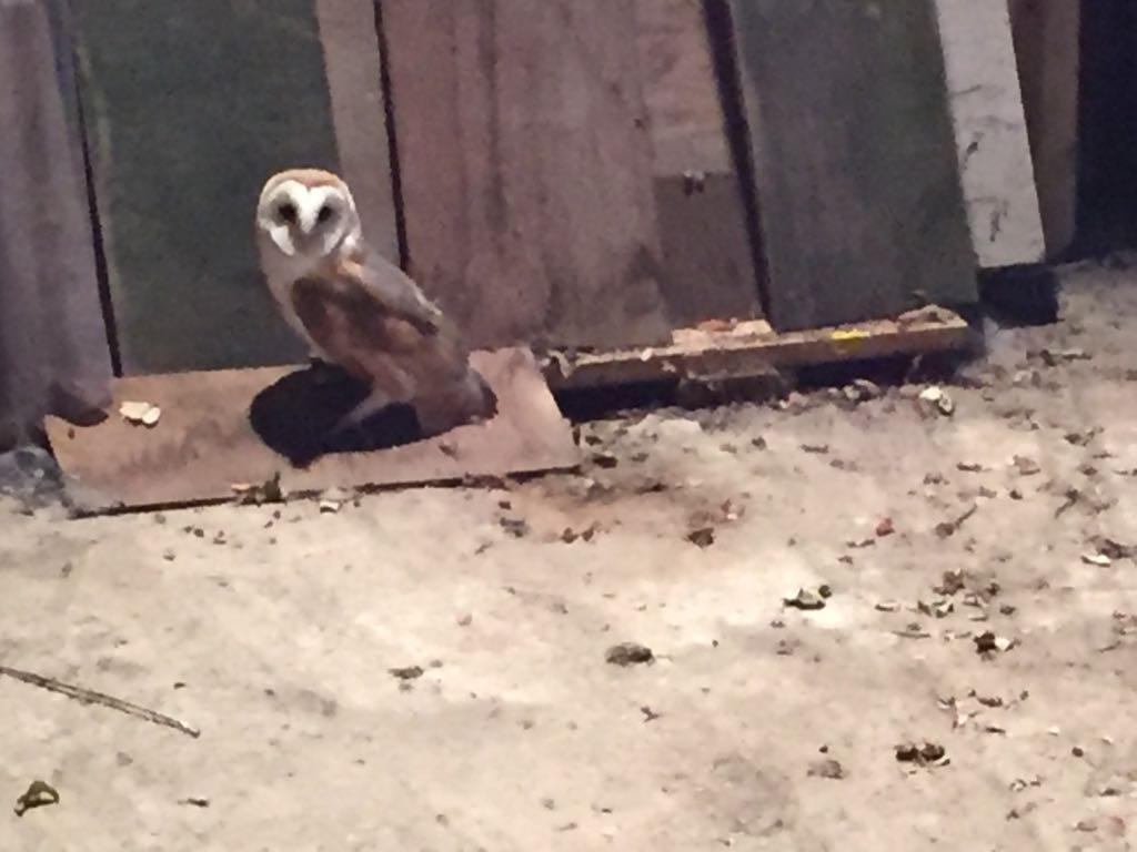 Juvenile Manx Barn Owl