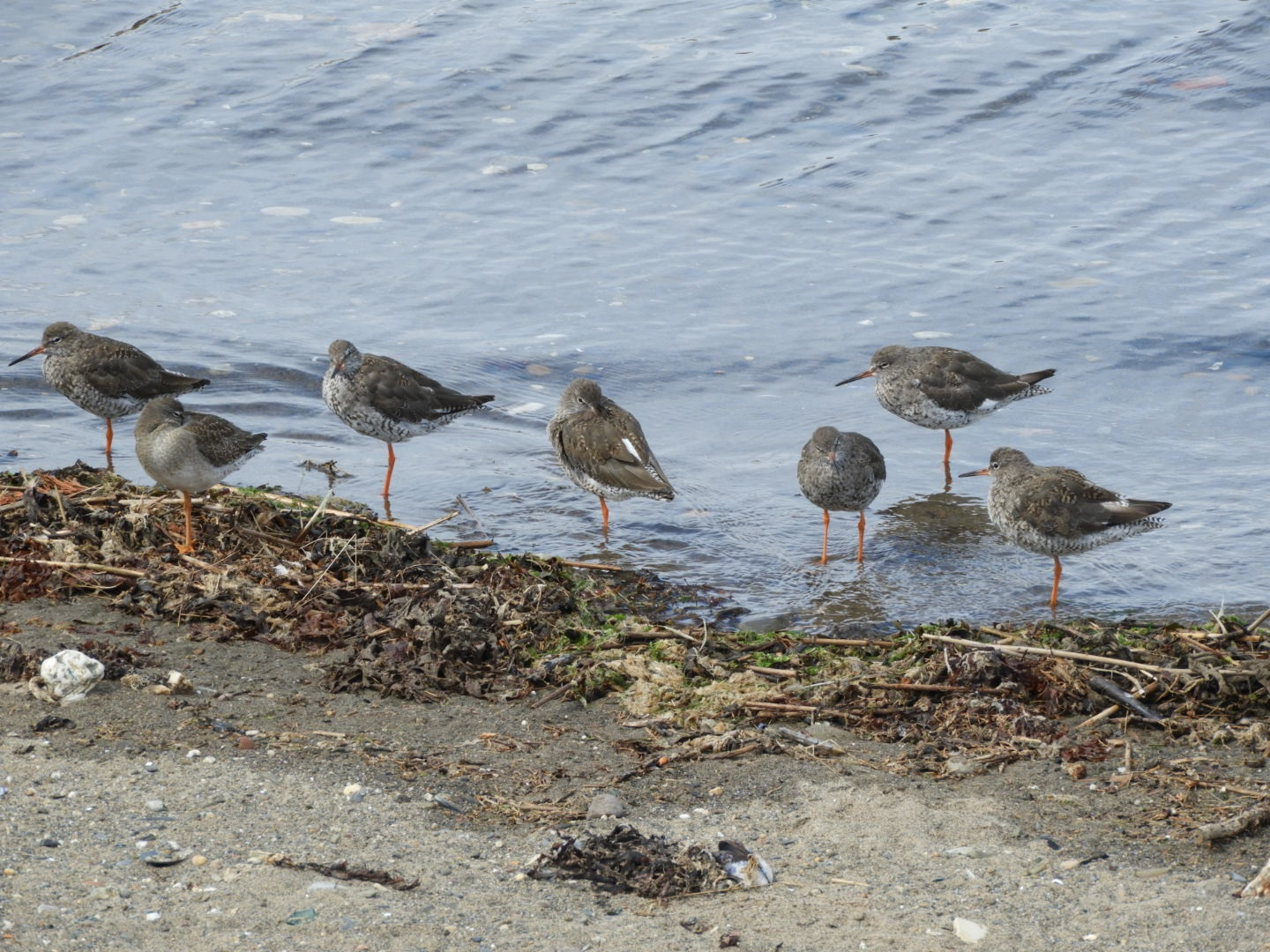 Redshank (Stephen Nash)