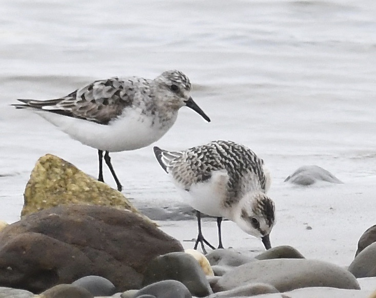 Sanderling (Michael Coupe)
