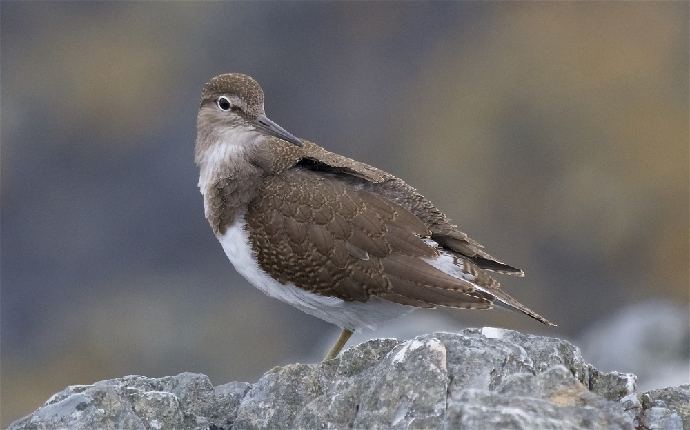 Common Sandpiper (Peter Christian)