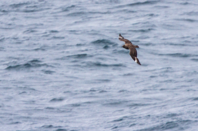 Great Skua (Neil G. Morris)