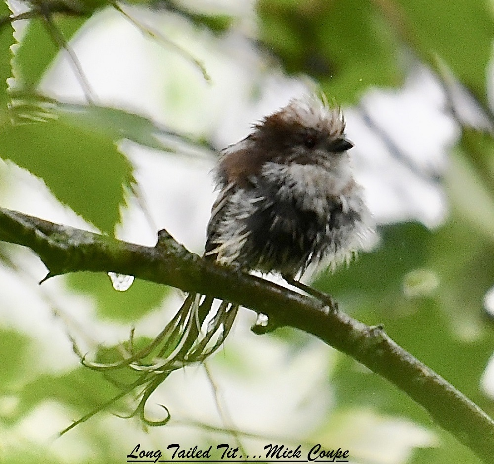 Long-tailed Tit (Michael Coupe)