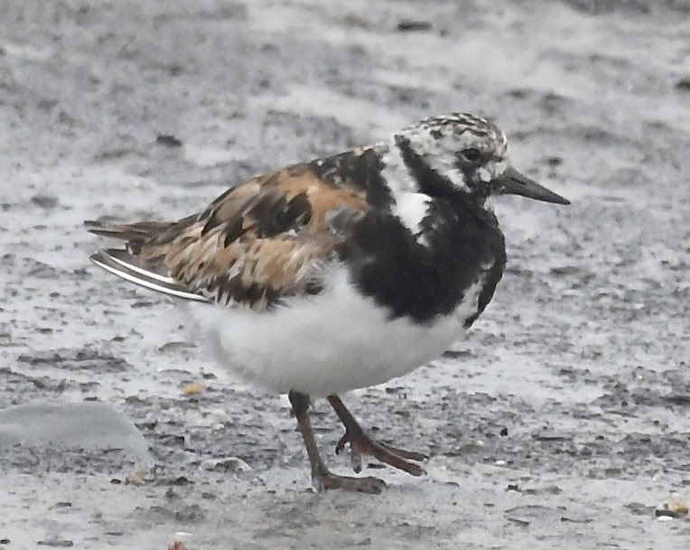 Turnstone (Michael Coupe)