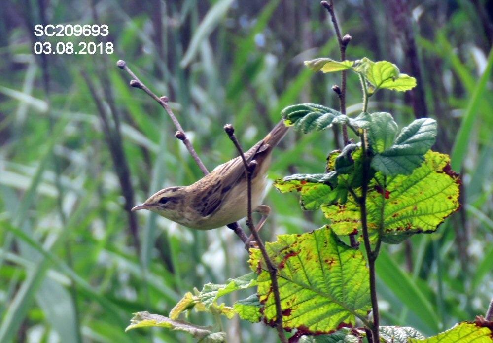 Sedge Warbler juvenile (Sheila Norris)