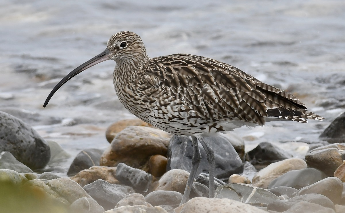 Curlew (Michael Coupe)