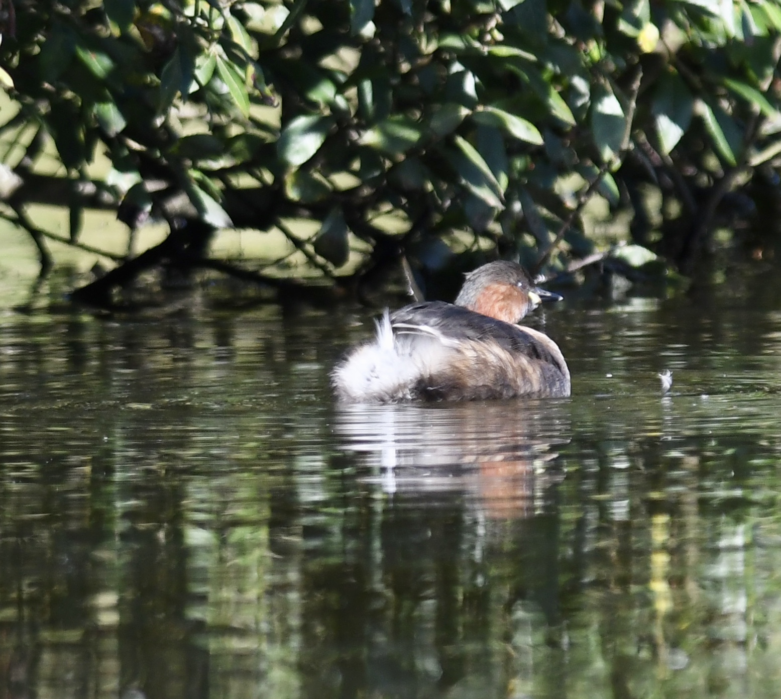 Little Grebe (Michael Coupe)