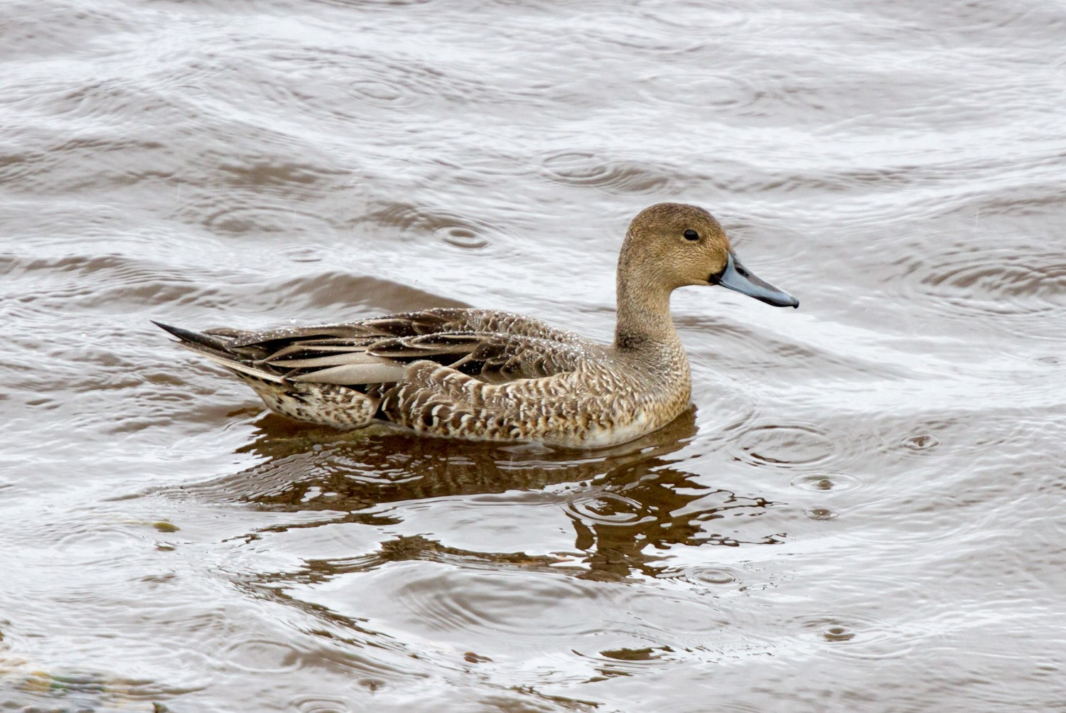 Northern Pintail (Neil G. Morris)