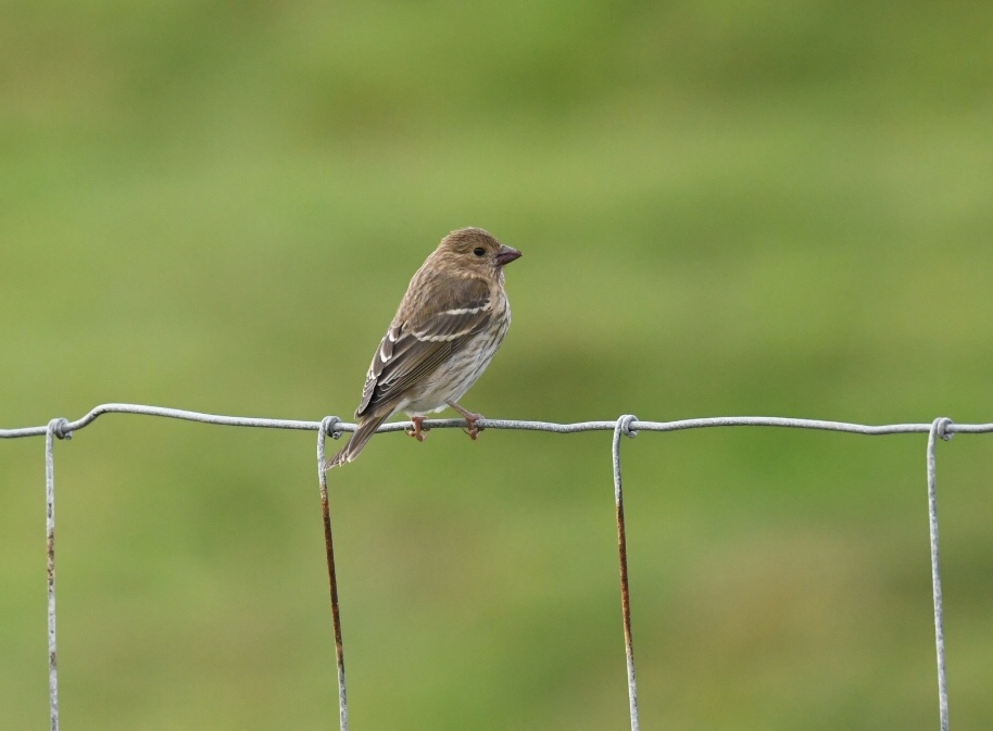 Common Rosefinch (Simon Williams)