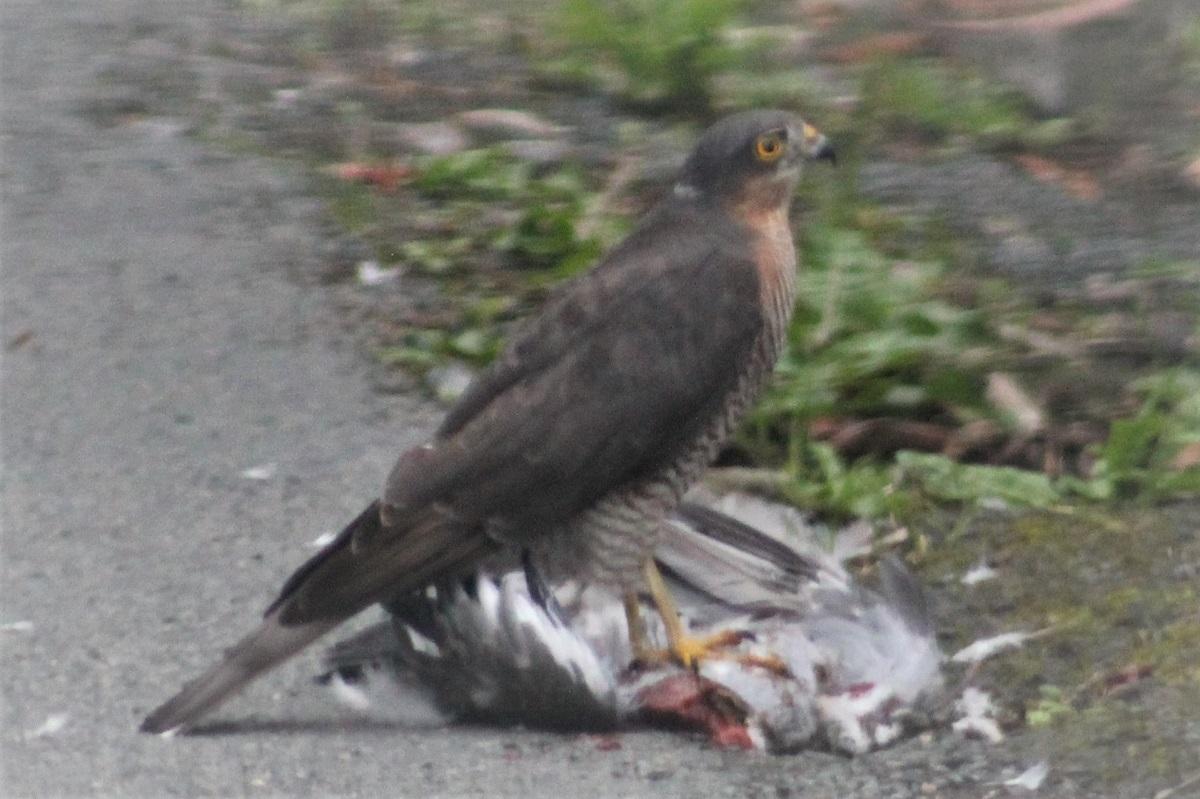 Sparrowhawk (David Craine)
