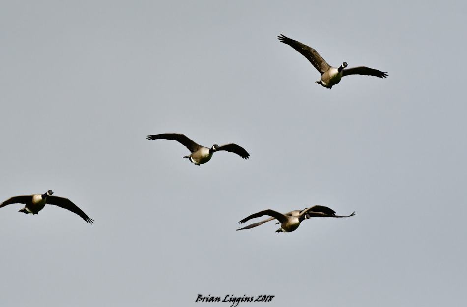 Canada Goose (Brian Liggins)