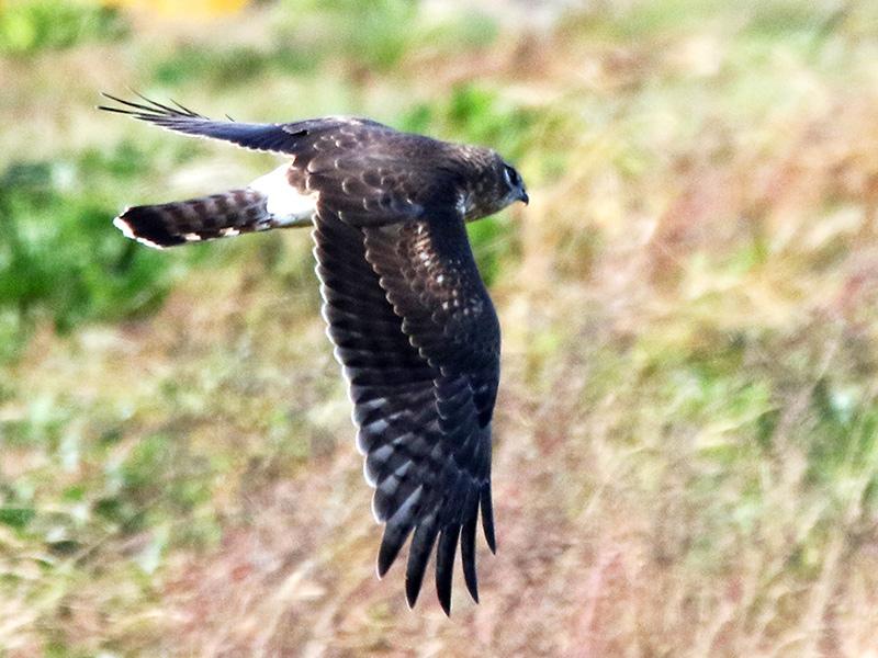 Hen Harrier (Michael Howland)