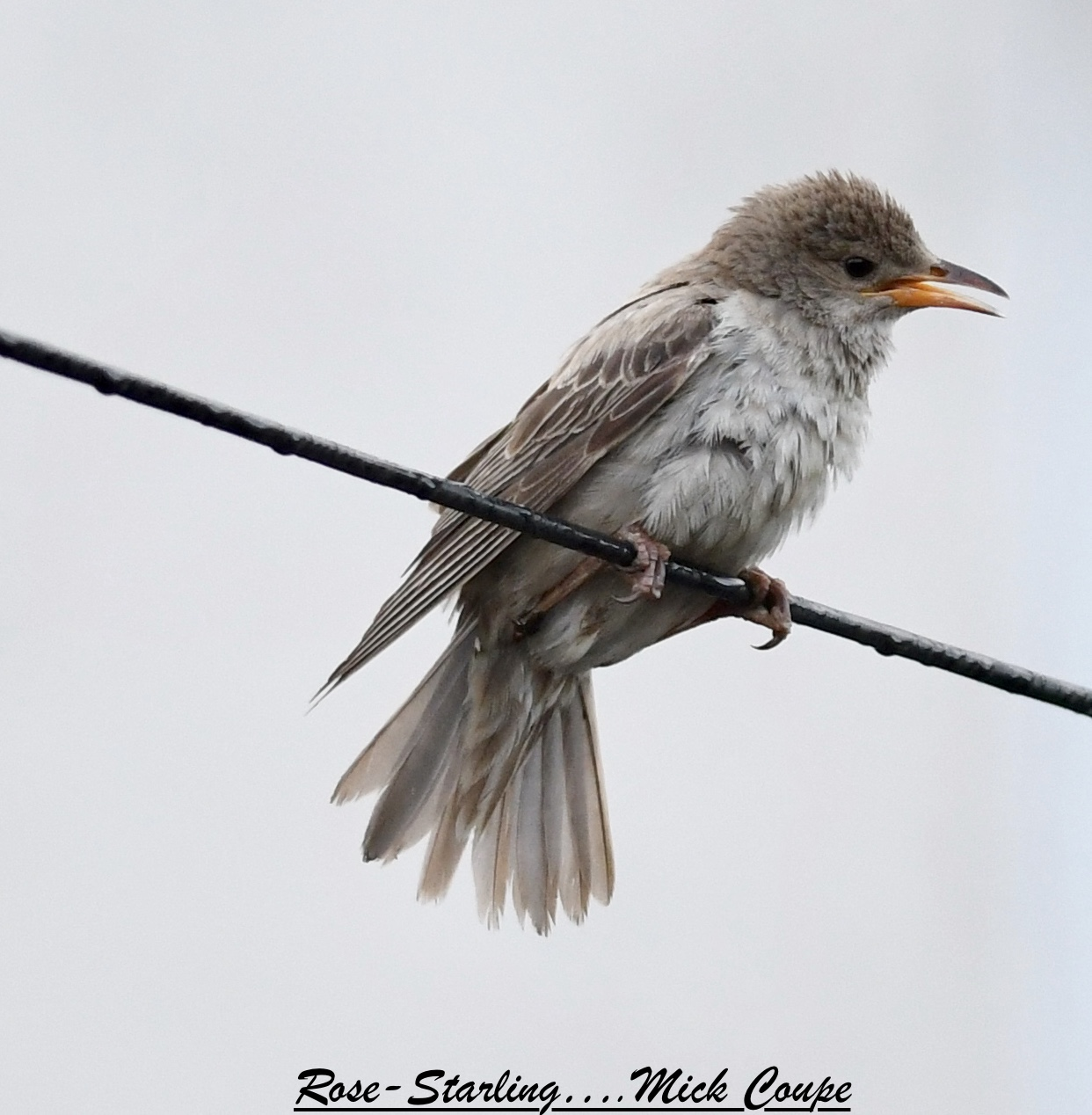Rose-coloured Starling (Michael Coupe)