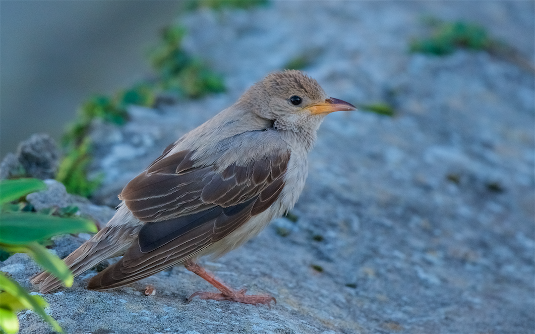 Rose-coloured Starling (Peter Christian)