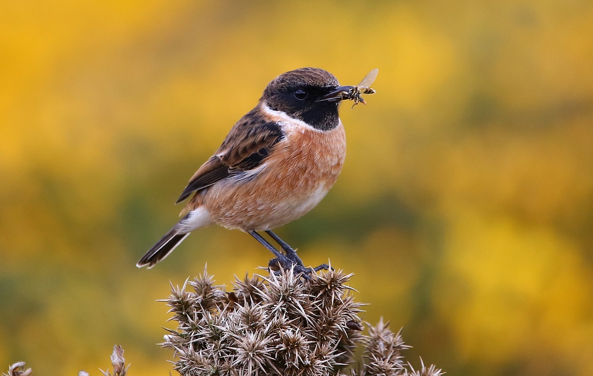 Stonechat (John Donnelly)
