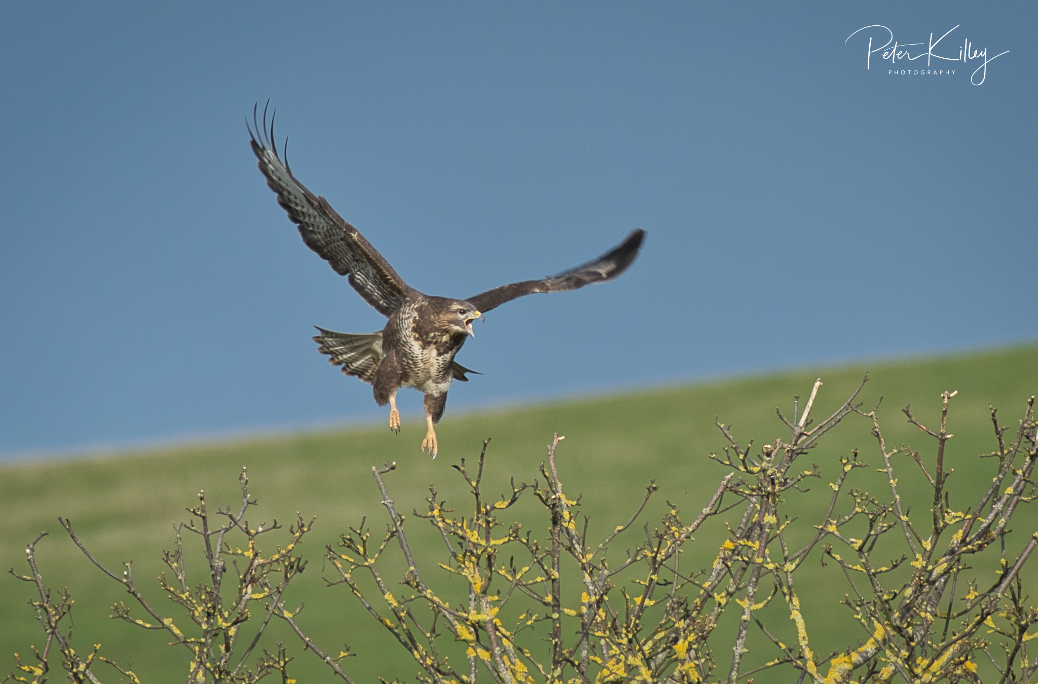 Buzzard (Peter Killey)