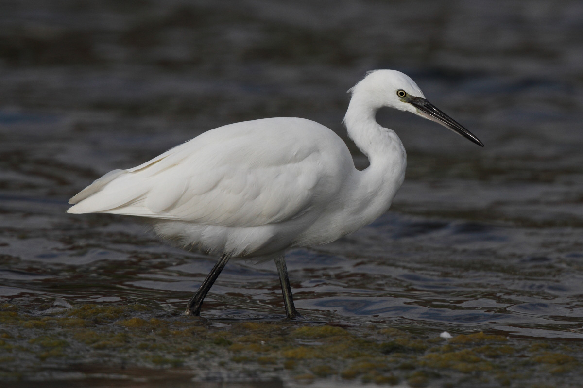 Little Egret (Neil G. Morris)
