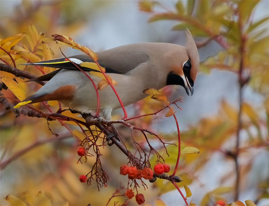 Waxwing (Peter Christian)
