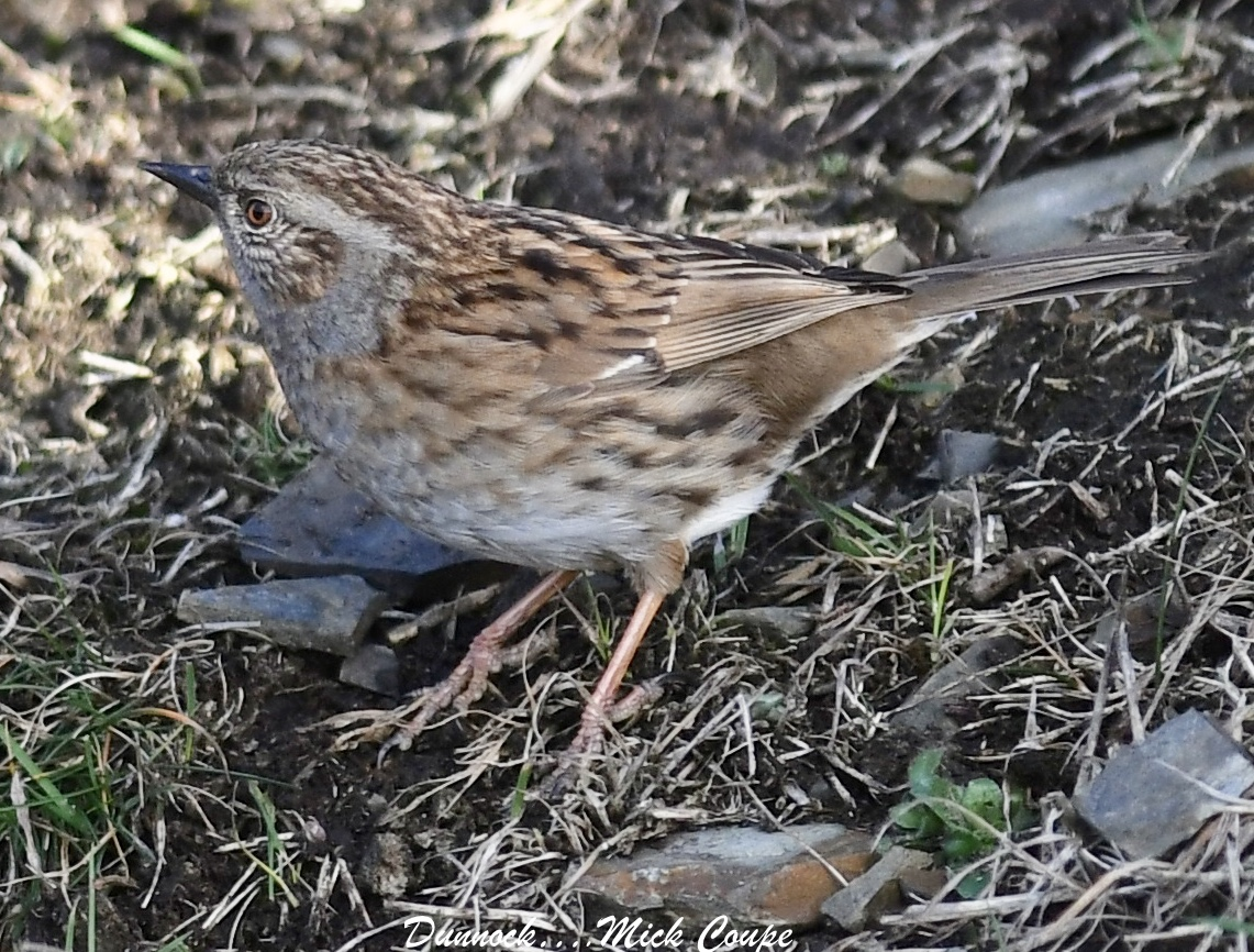 Dunnock (Michael Coupe)