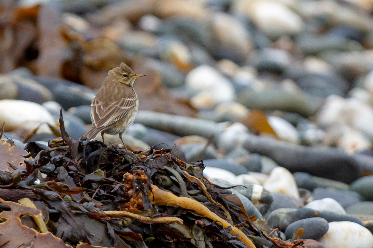 Water Pipit (Neil G Morris)