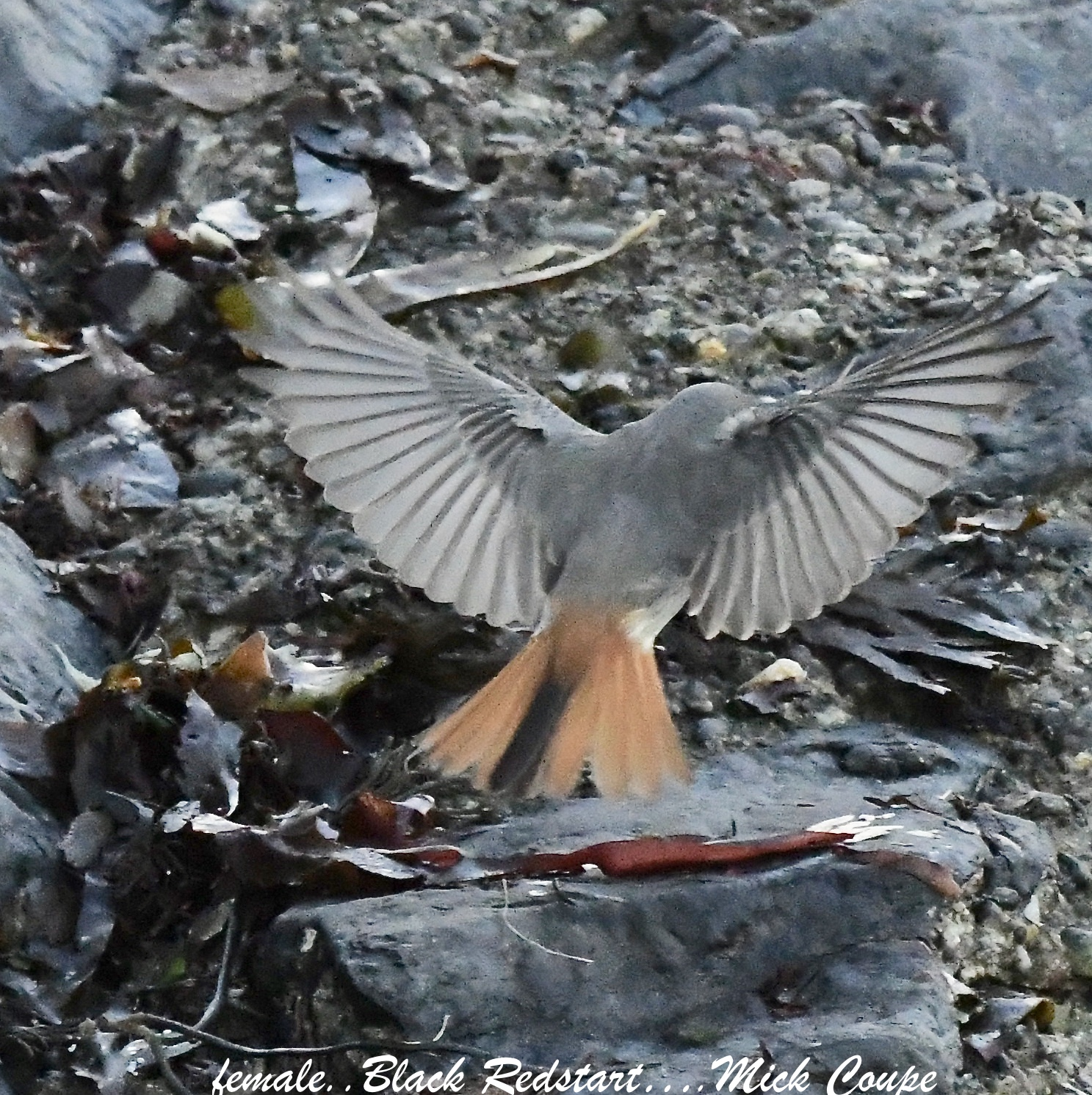 Black Redstart (Michael Coupe)