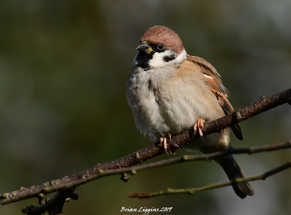 Tree Sparrow (Brian Liggins)