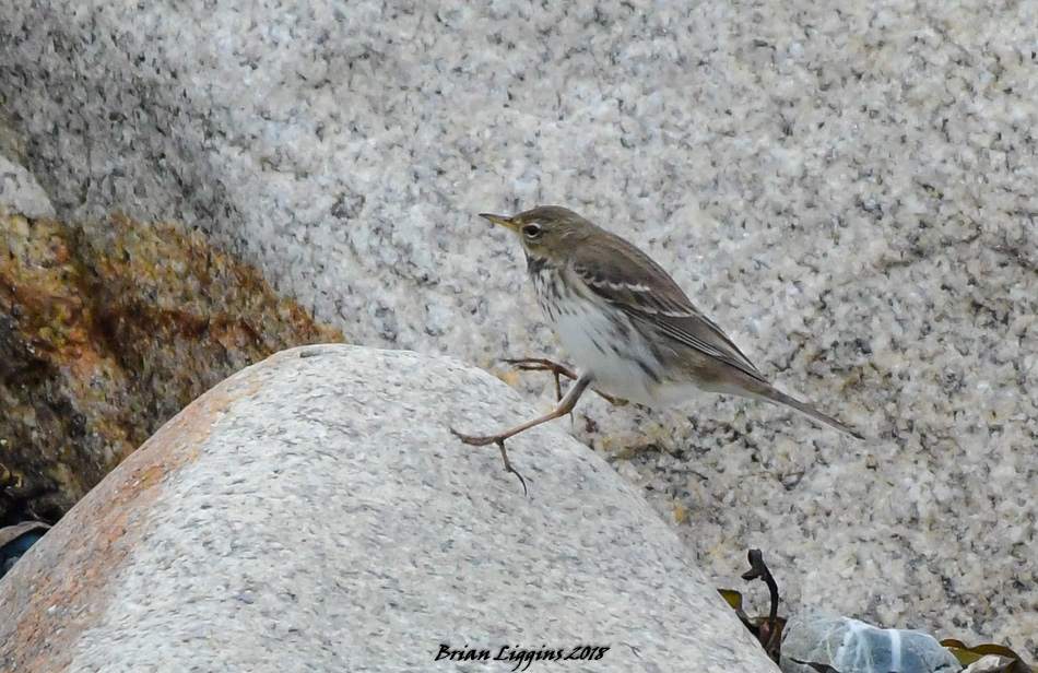 Water Pipit (Brian Liggins)
