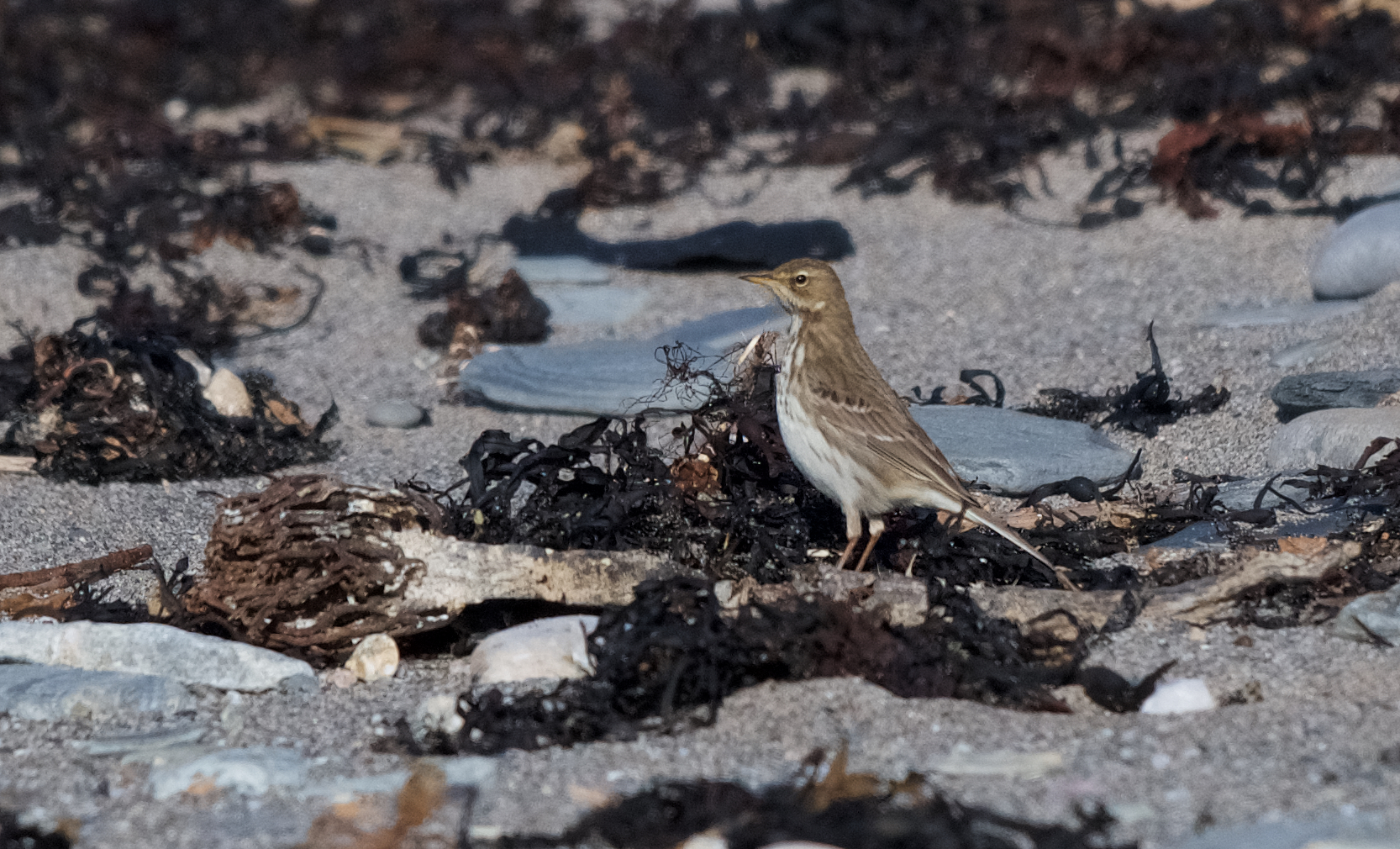 Water Pipit (Peter Christian)