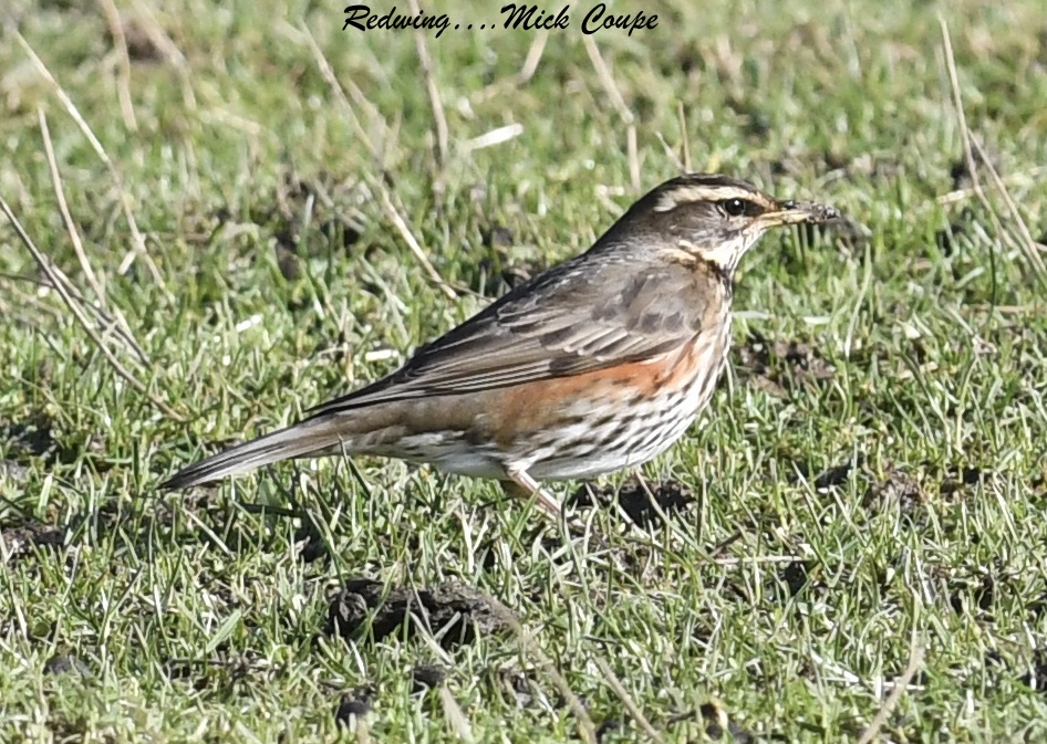 Redwing (Michael Coupe)