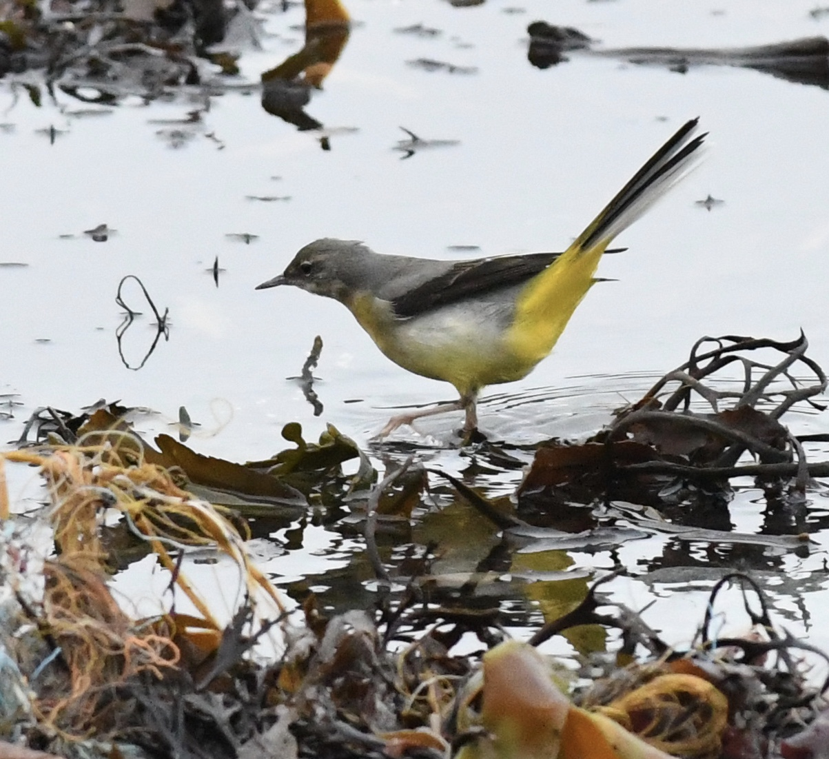 Grey Wagtail (Michael Coupe)