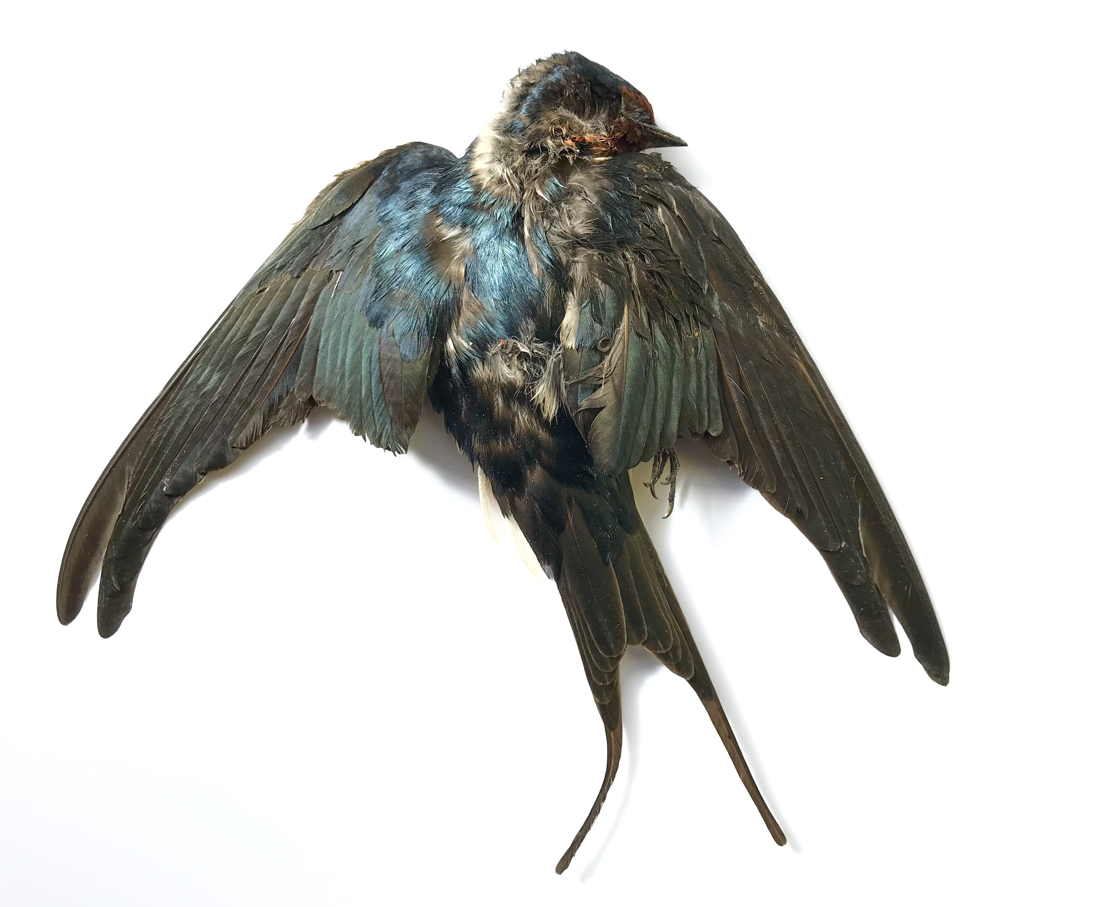 Barn Swallow. Isle of Man, 21 February 2019 (Neil G. Morris)
