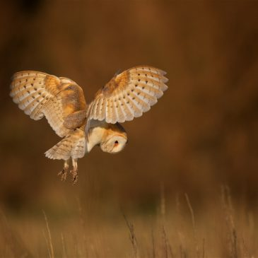 Three Barn Owl fledglings set for their maiden flights