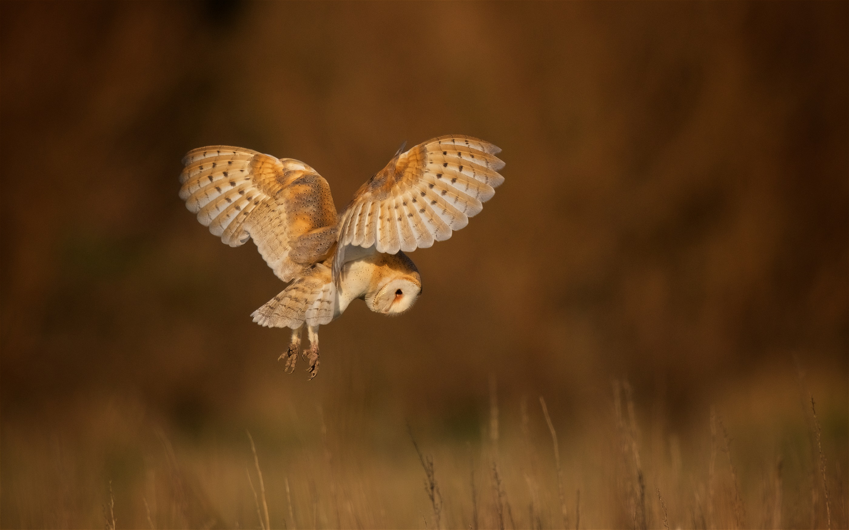 Barn Owl (Peter Christian)