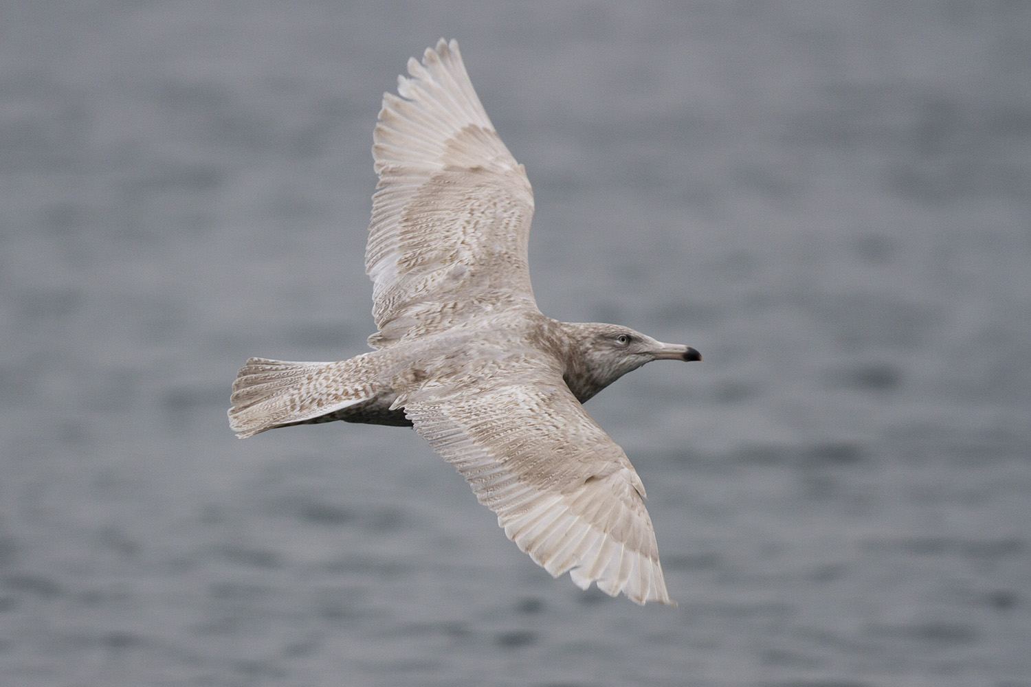 Glaucous Gull, Peel, Isle of Man, 31 Dec 2018 (Neil G. Morris)