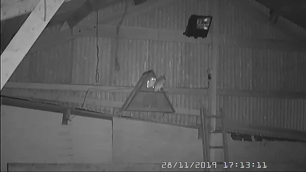 Two Manx Barn owls return