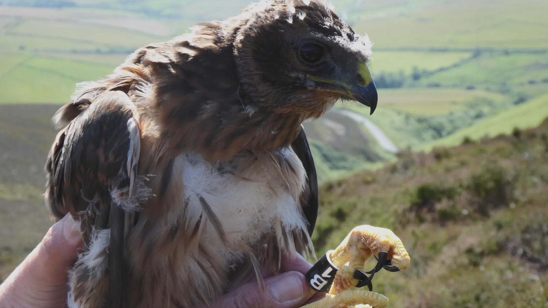 Manx Hen Harrier, Mary, as a nestling © RSPB