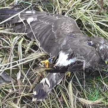 The Illegal Killing of Mary, the Isle of Man Hen Harrier