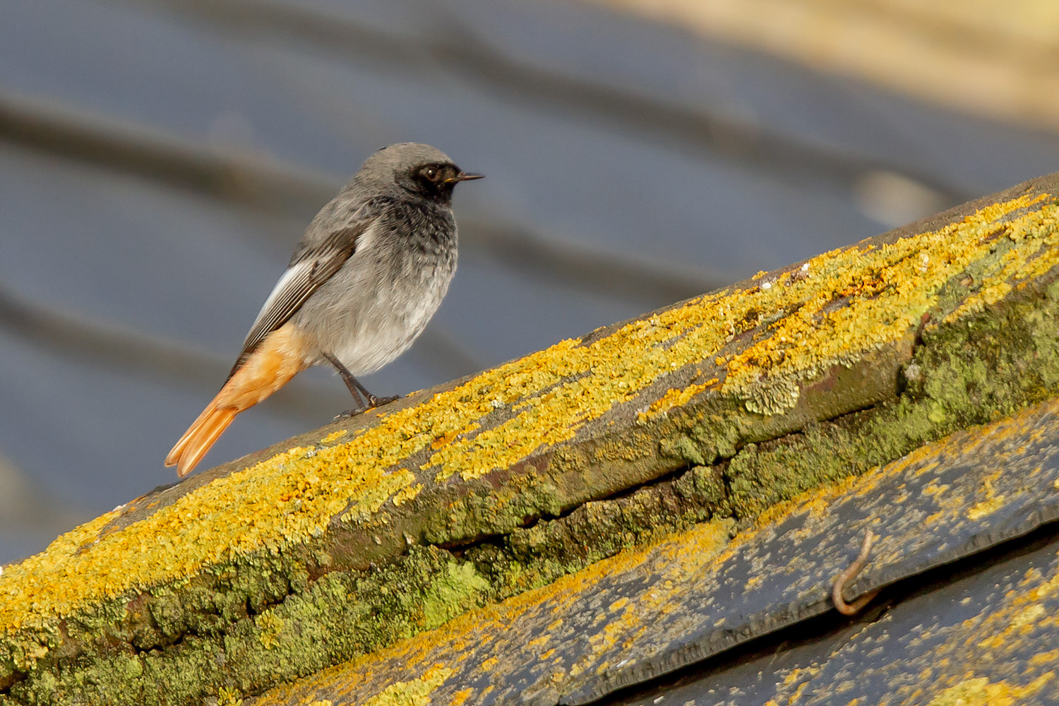 Black Redstart, December 2019 (© Neil G. Morris)