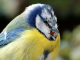 Cause of Blue Tit deaths identified
