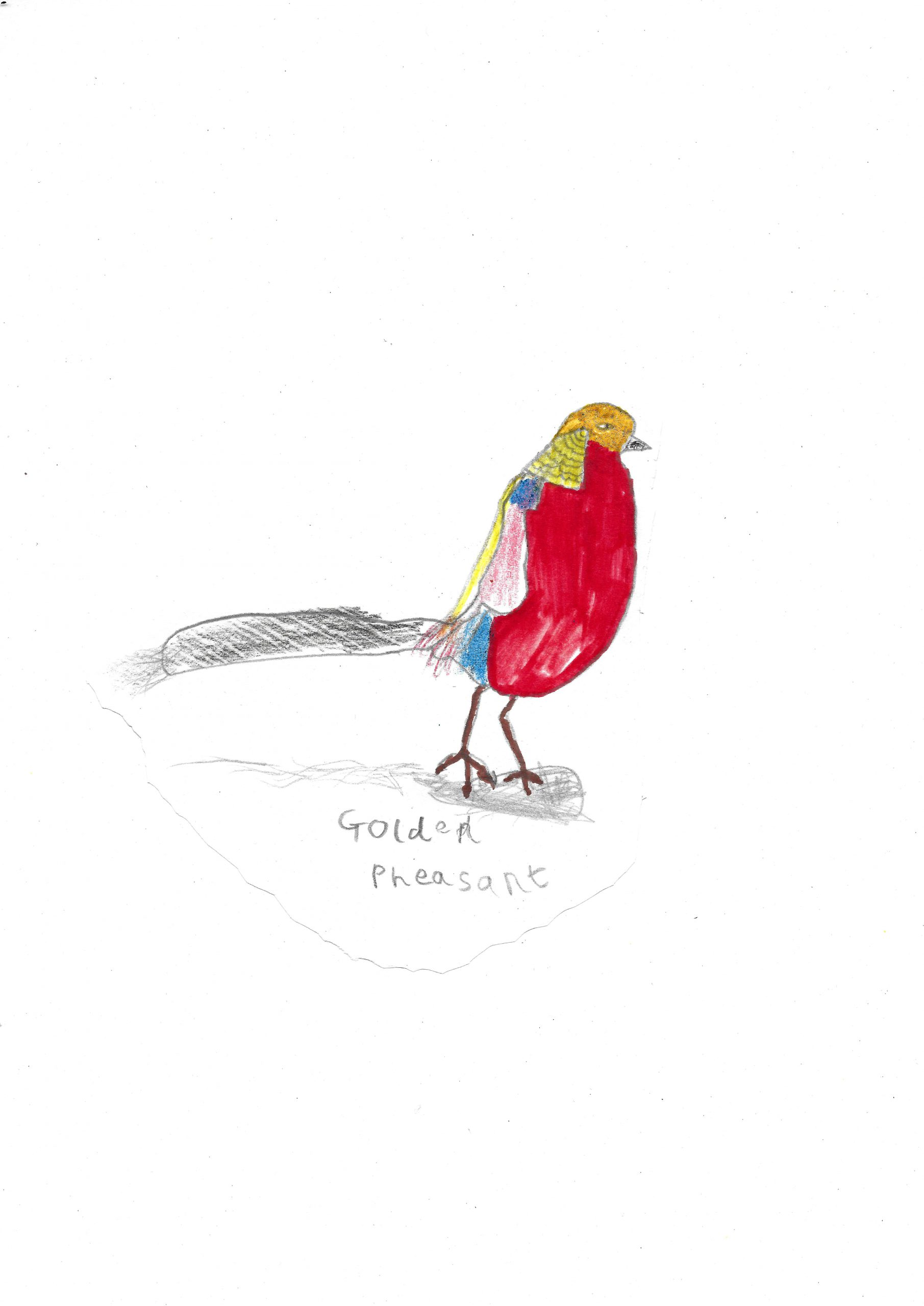"Above: ""Golden Pheasant"" by Ellie Davison (Yr 2, Arbory School)"