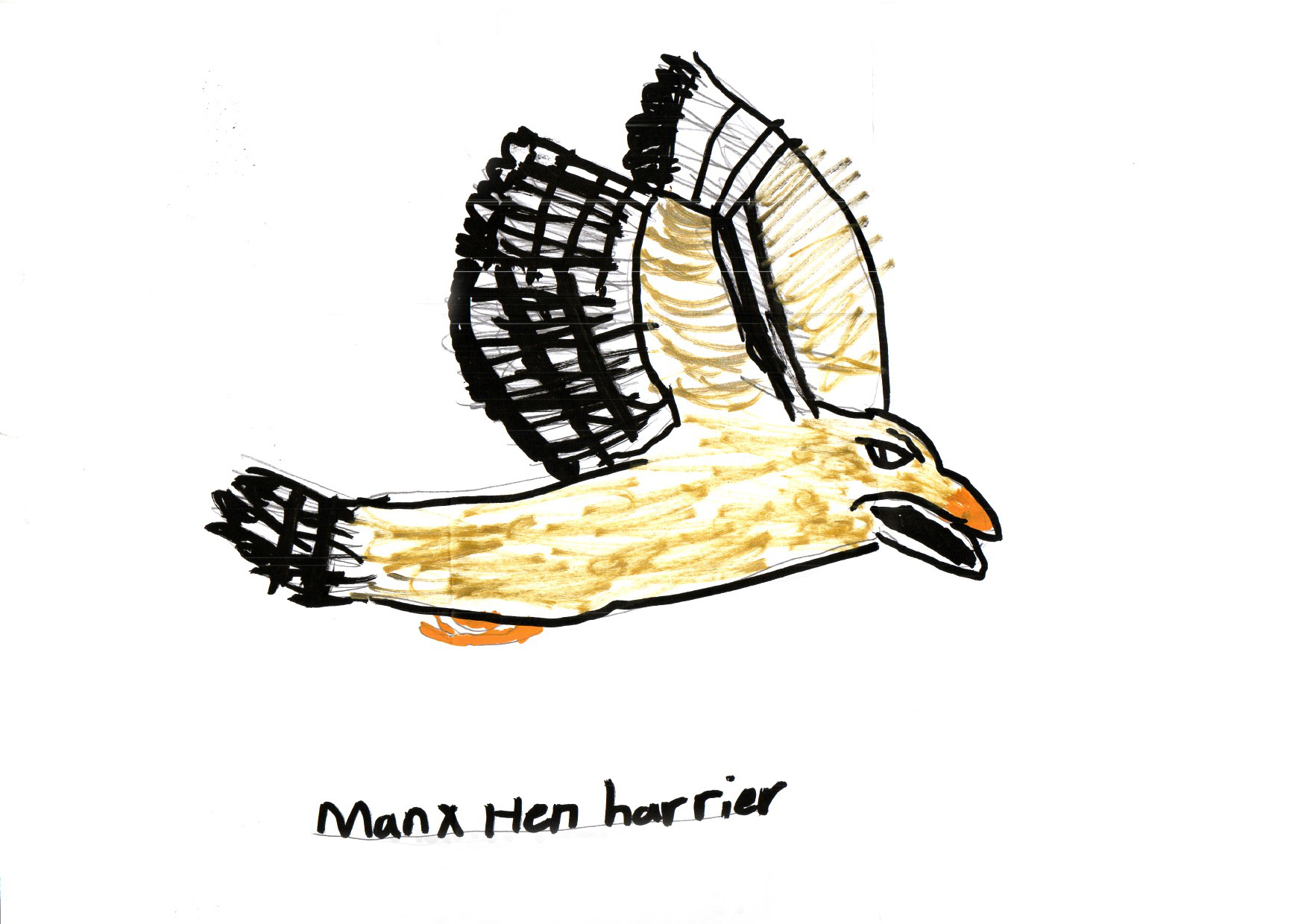 "Above: ""Hen Harrier"" by Isabella Losh (Yr 5, Anagh Coar School)"