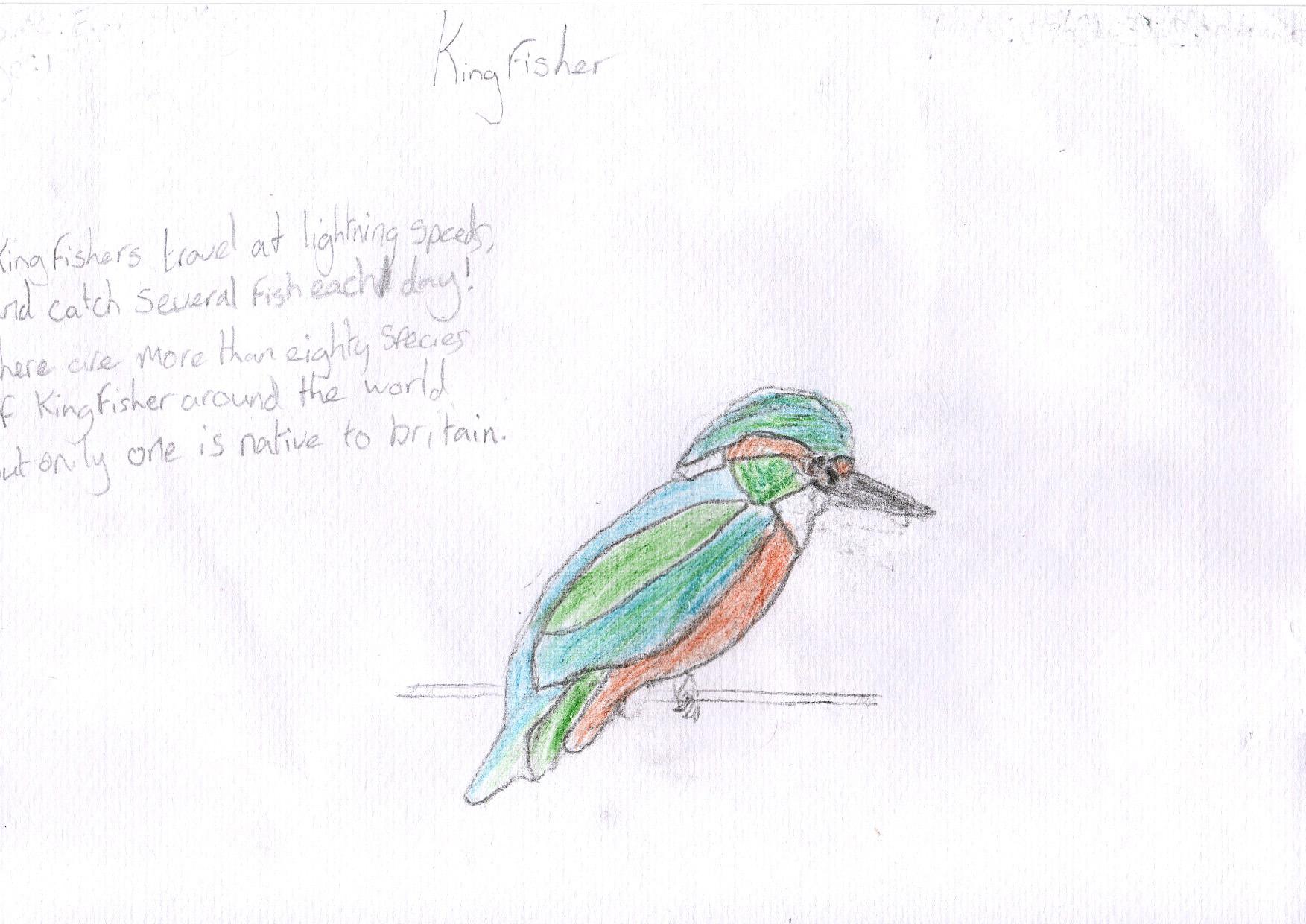"""Above: """"Kingfisher"""" by Evie Hicks (Yr 5, BunscoillGhaelgagh)"""