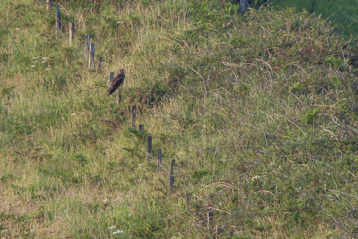 Maye, the Manx Hen Harrier