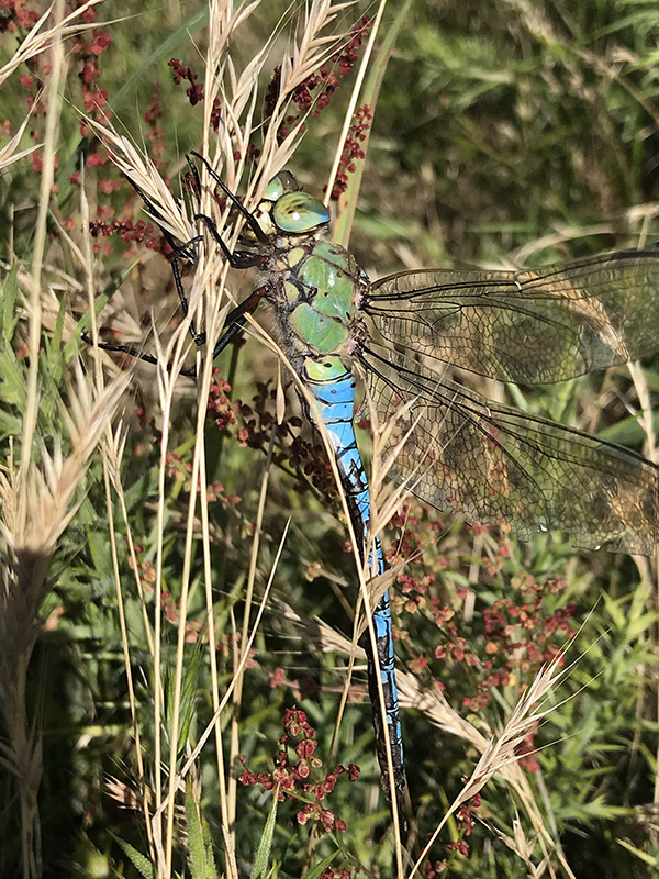 Emperor Dragonfly at The Manx BirdLife Point of Ayre National Reserve