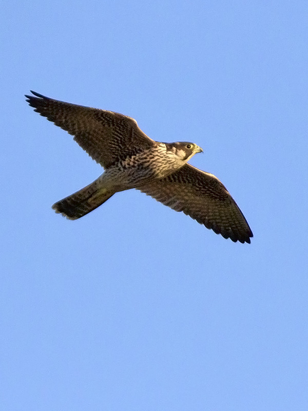 Peregrine at The Manx BirdLife Point of Ayre National Reserve