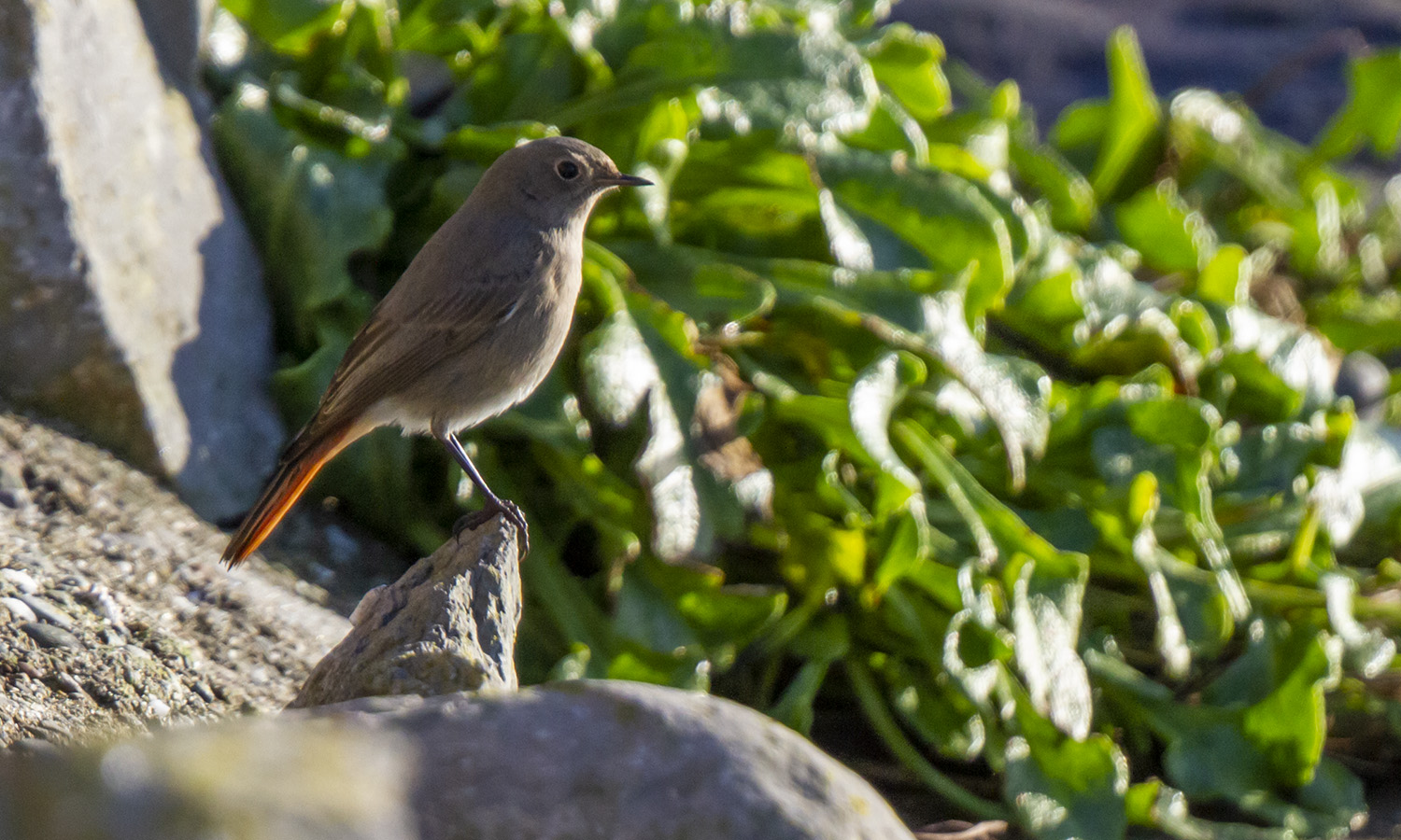 Black Redstart, Strandhall, Dec 2020 (Neil G. Morris)