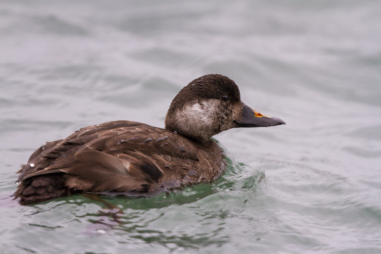 Common Scoter, Peel, Dec 2020 (Neil G. Morris)